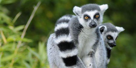 Lemuren, Wale und Chamäleons: Madagaskars faszinierende Tierwelt
