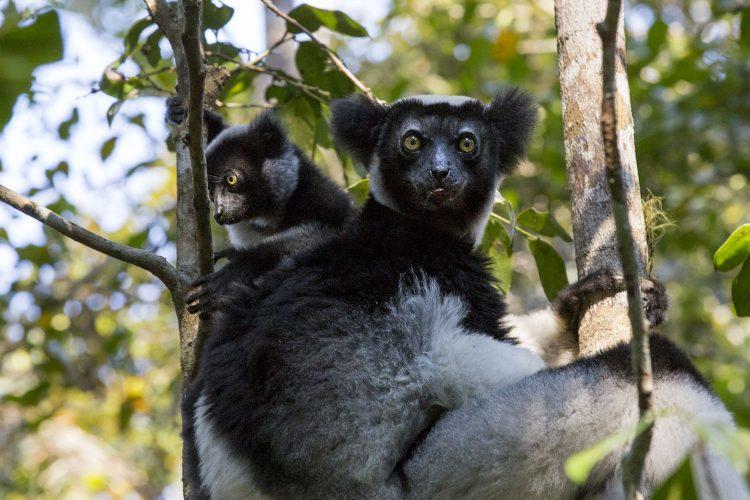 Indri mit Jungtier