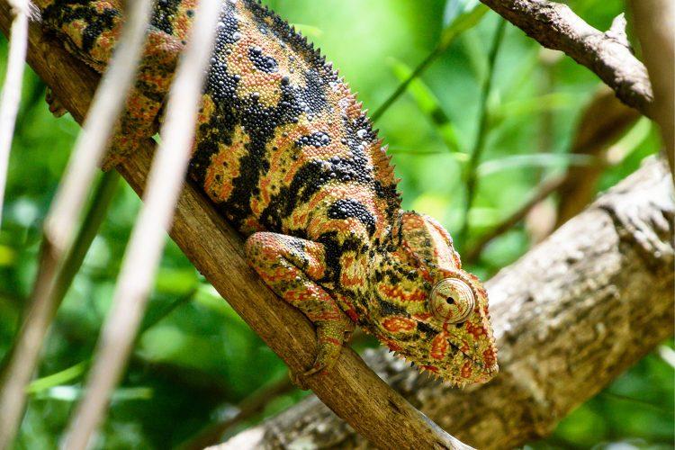 Chamäleon im Ranomafana Nationalpark