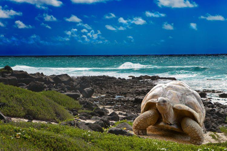 Galapagos-Schildkröte am Strand