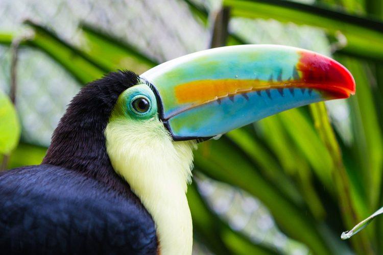 Tukan bei tropischer Expedition