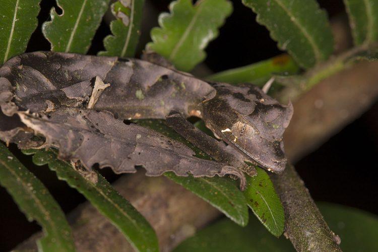 Kaum als Tier zu erkennen: Der Gespenster-Blattschwanzgecko
