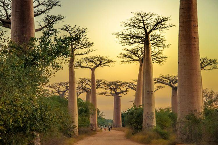 Die berühmte Baobaballee