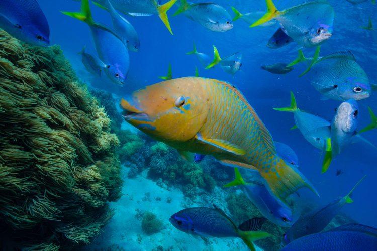 Papageienfisch im Great Barrier Reef