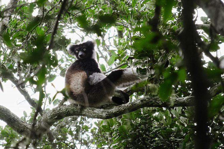 Indiri Indiri Lemur