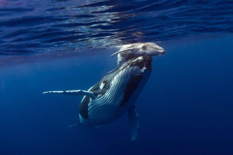 Buckelwale kann man vor Vava'u beobachten
