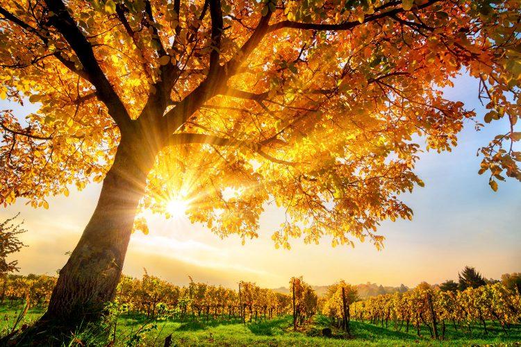 Goldenes Herbstlicht in den Reben