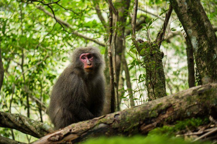 Affe auf Yakushima