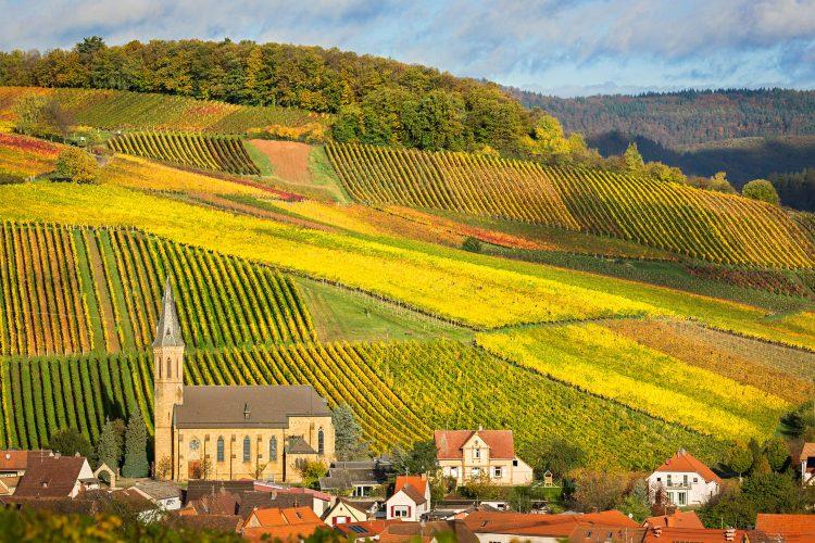 Herbstliche Weinreben in der Pfalz